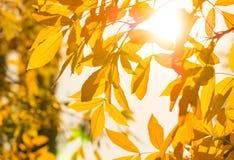 Fondo de la naturaleza del otoño con las hojas de oro en día soleado Imagenes de archivo