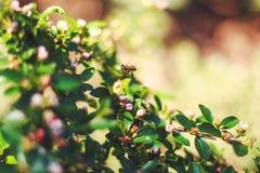 Fondo de la naturaleza del verano con la abeja Foto de archivo libre de regalías