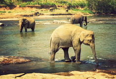 Fondo de la naturaleza del vintage de los elefantes de Asia de la familia Foto de archivo libre de regalías