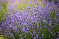 Fondo de la naturaleza de los campos de flor frescos de la lavanda imágenes de archivo libres de regalías