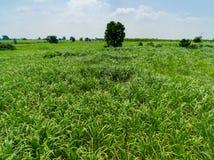 Fondo de la naturaleza de la opinión superior de la plantación de la caña de azúcar de la visión aérea fotos de archivo