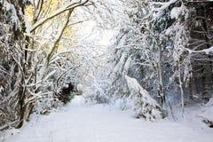 Fondo de la Navidad con los árboles del invierno Imagen de archivo libre de regalías