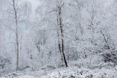Fondo de la Navidad con los árboles nevosos Imagen de archivo libre de regalías