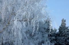Fondo de la Navidad hermosa o del Año Nuevo Árbol forestal del invierno Fotografía de archivo libre de regalías