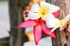 Fondo de la opinión de la flor del Plumeria Imagen de archivo libre de regalías