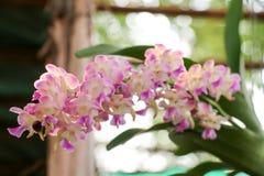 Fondo 241 de la orquídea Imagen de archivo