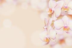 Fondo de la orquídea del melocotón Foto de archivo