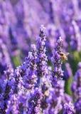 Fondo de la púrpura de la flor de la lavanda Fotografía de archivo libre de regalías