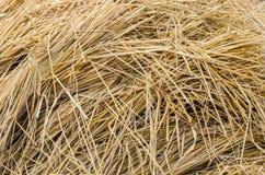 Fondo de la paja del arroz Imagen de archivo libre de regalías