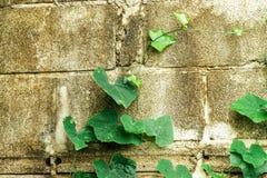 Fondo de la pared de ladrillo del castillo con la planta verde Fotos de archivo libres de regalías