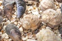 Fondo de la perla de la c?scara del mar Primer de la textura de las conchas marinas ish, arena, coral en la playa imágenes de archivo libres de regalías