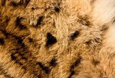 Fondo de la piel del lince Fotos de archivo libres de regalías