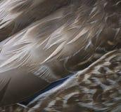 Fondo de la pluma del pato imagen de archivo libre de regalías