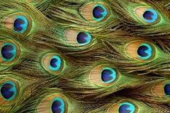 Fondo de la pluma del pavo real. Imagen de archivo