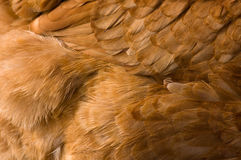 Fondo de la pluma del pollo Imagen de archivo