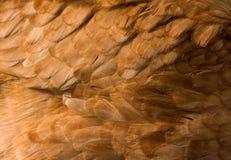 Fondo de la pluma del pollo Fotos de archivo