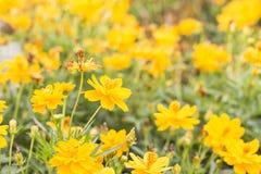 Fondo de la primavera con la flor amarilla hermosa en el jardín Imágenes de archivo libres de regalías