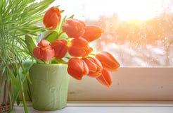 Fondo de la primavera con la hierba y los tulipanes en el tablero de ventana en un sol Imagenes de archivo