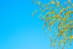 Fondo de la primavera con la rama de los amentos del abedul Foto de archivo libre de regalías