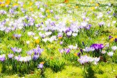 Fondo de la primavera con las diversas flores del azafrán Imágenes de archivo libres de regalías