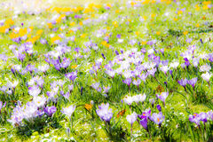 Fondo de la primavera con las diversas flores del azafrán Foto de archivo libre de regalías