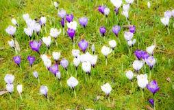 Fondo de la primavera con las diversas flores del azafrán Fotos de archivo