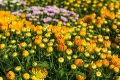 Fondo de la primavera con las flores amarillas hermosas en jardín Fotos de archivo libres de regalías
