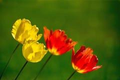 Fondo de la primavera con las flores del tulipán Imagenes de archivo