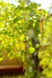 Fondo de la primavera con las hojas verdes claras del abedul Fotos de archivo libres de regalías