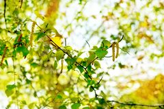 Fondo de la primavera con las hojas verdes claras del abedul Fotos de archivo