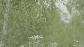 Fondo de la primavera con las hojas verdes claras del abedul Hojas del abedul y del día soleado Fondo natural de la primavera con metrajes