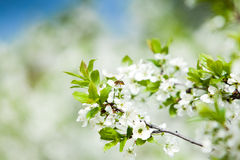 Fondo de la primavera con los árboles del flor Imagen de archivo