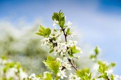 Fondo de la primavera con los árboles del flor Foto de archivo libre de regalías