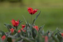 Fondo de la primavera con los peque?os tulipanes rojos imagen de archivo libre de regalías