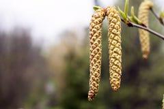Fondo de la primavera con la rama de los amentos del abedul Fotografía de archivo libre de regalías