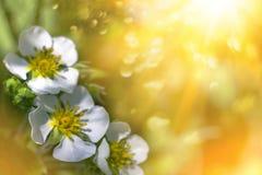 Fondo de la primavera - flores blancas de la fresa en sol imagen de archivo