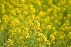 Fondo de la primavera de los campos de flor amarillos de la rabina en sol Imagenes de archivo