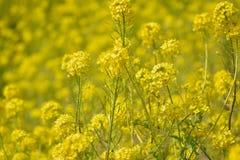 Fondo de la primavera de los campos de flor amarillos de la rabina en sol Imagen de archivo libre de regalías