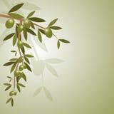 Fondo de la rama de olivo Fotos de archivo libres de regalías