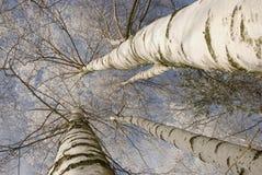 Fondo de la ramificación escarchada del tronco de árbol de abedul Foto de archivo