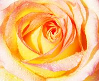 Fondo de la rosa del amarillo Imagenes de archivo