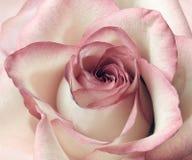 Fondo de la rosa del rosa y del blanco Imagenes de archivo