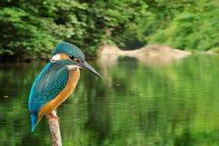 Fondo de la selva tropical de Atthis del Alcedo del martín pescador Imagen de archivo libre de regalías