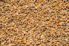 Fondo de la semilla del maíz Imágenes de archivo libres de regalías
