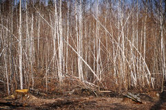 Fondo de la tala de árboles Fotografía de archivo libre de regalías