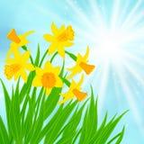 Fondo de la tarjeta de la primavera con los narcisos Fotos de archivo libres de regalías