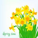 Fondo de la tarjeta de la primavera con los narcisos Imagen de archivo libre de regalías