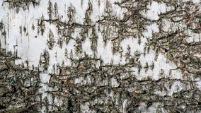 Fondo de la textura de la corteza de abedul Imagen de archivo