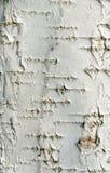 Fondo de la textura de la corteza de abedul Fotos de archivo libres de regalías