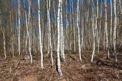 Fondo de la textura de Forest Park del árbol de abedul Fotos de archivo